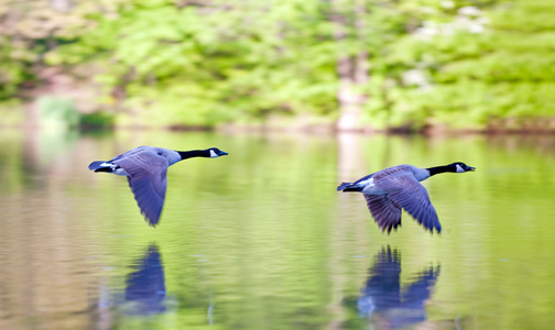 Wingtips on the Water -Canadian Geese art print