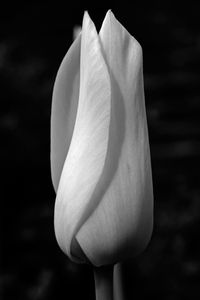 Rose flower photography art print in black and white