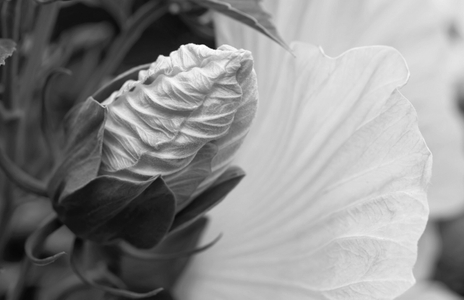 Hibiscus flower bud - black and white photography art print for interior design