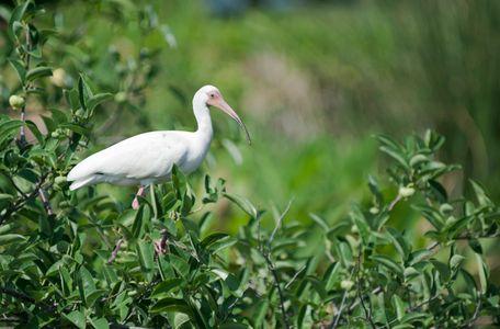 White Ibis photo art print