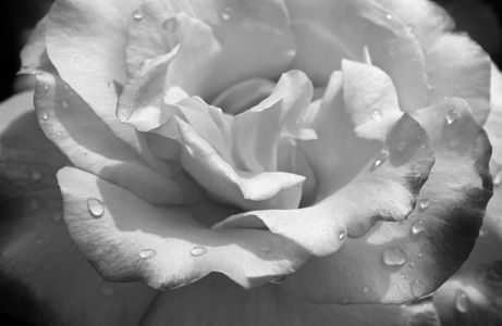 Rose flower photo fine art print b&w 1