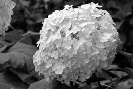 Hydrangea Flower art print in black and white
