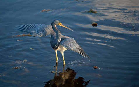 Tricolor Heron photography art print