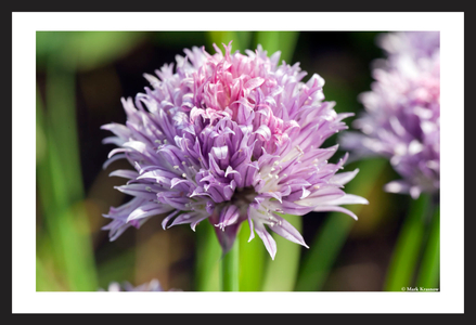 Chive Flower Art Print for Home and Office