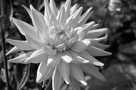 Dahlia flower art print in black & white