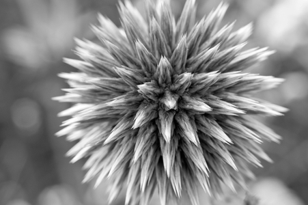 Thistle black and white photography art print for interior design