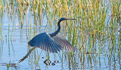 Tricolor Heron Taking Flight photo art print