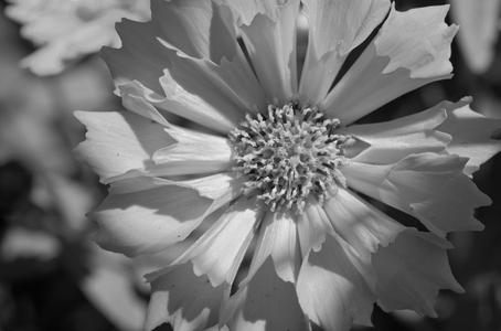 Daisy art print photo black and white for interior design