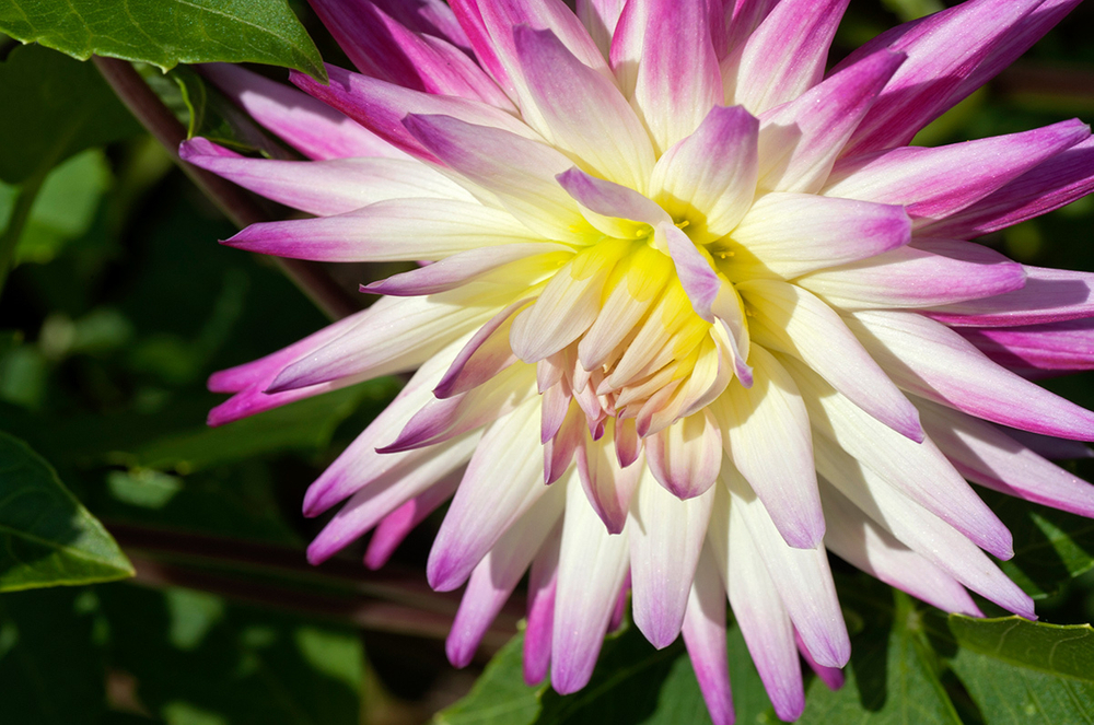 Dahlia Flower Photography Art Prints