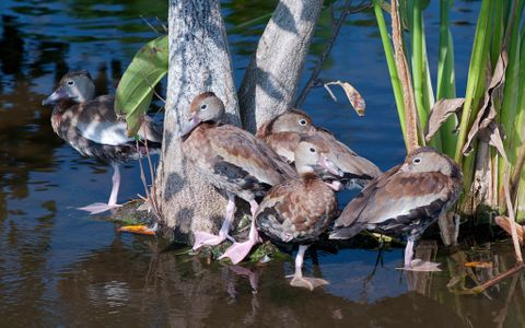 Young Whistling Ducks at wetlands in Florida wildlife art print