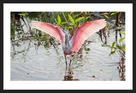 Roseate Spoonbill  - Florida Wetlands - Art Print