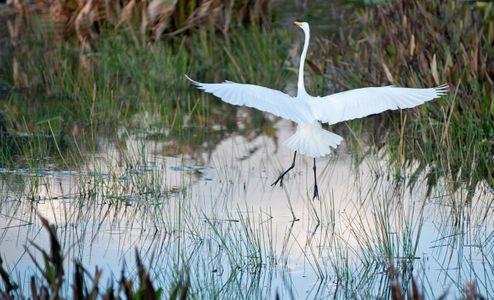 Great Egret landing at wetlands photography art print