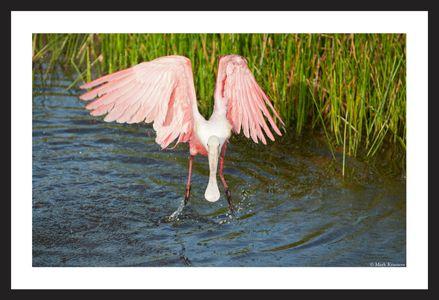 Roseate Spoonbill wildlife art print