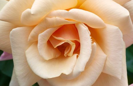 Rose flower photo art print macro