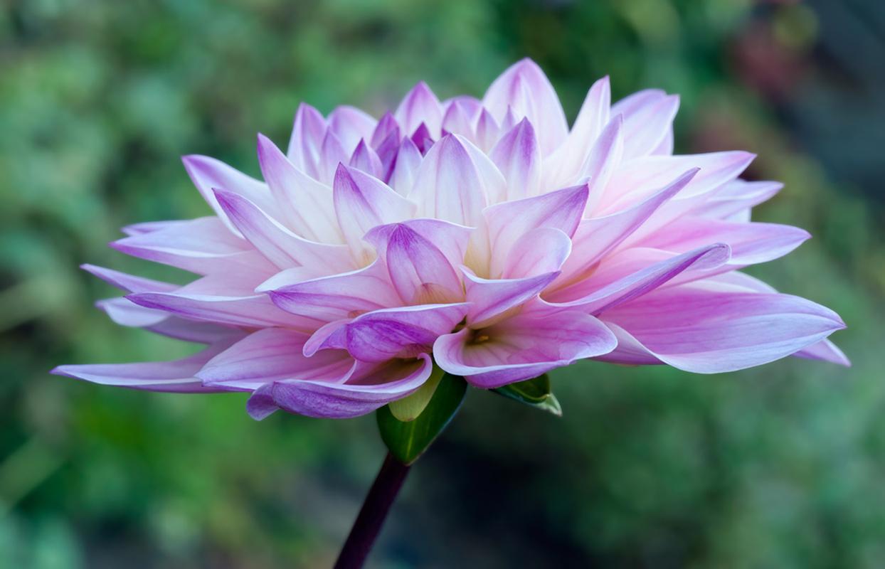 Dahlia flower photography art print