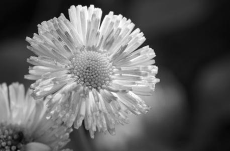 Daisy art print for interior design in black & white