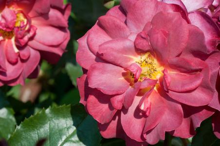 Rose flower photo art print