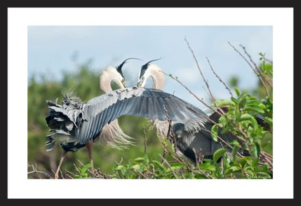 Great Blue Herons art print