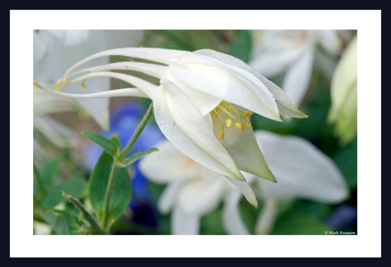 Columbine flower art print for home and office
