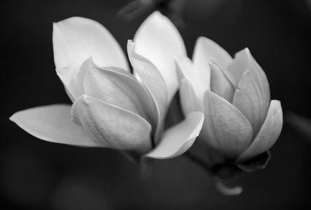 Magnolia blossoms flower art print macro in black & white
