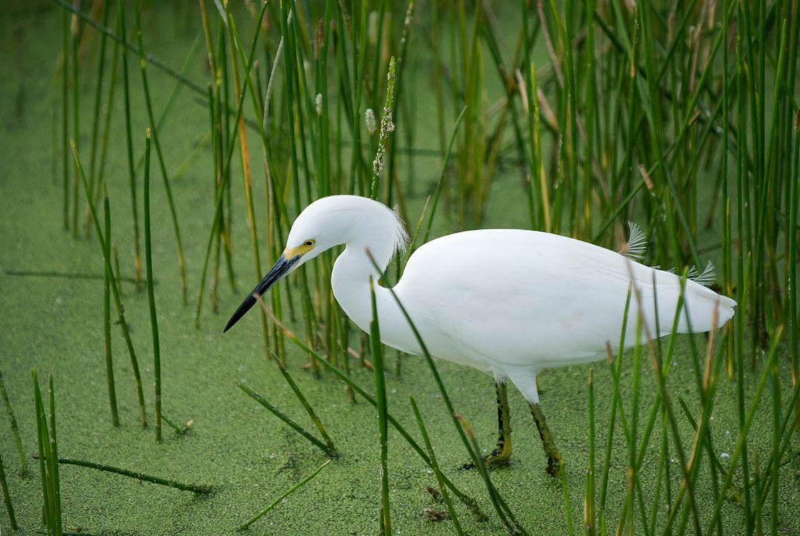 Snowy Egret at wetland in Florida