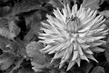 Dahlia flower art prints for home and office B&W