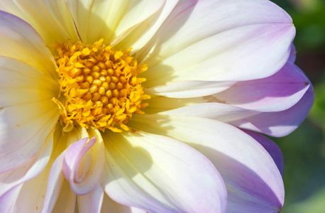 Dahlia flower photo art prints