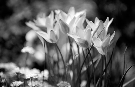Tulip art print photograph in black and white