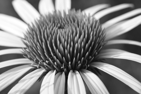 Daisy macro black and white photography art print for interior design
