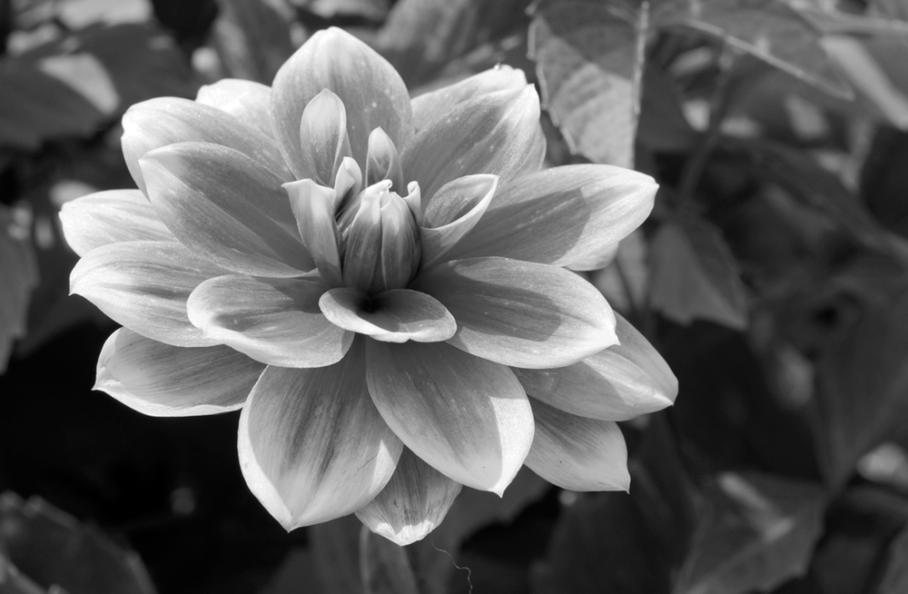 Dahlia flower art print macro for home and office - B&W