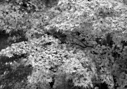 Maple Leaves art print photo effect in black and white