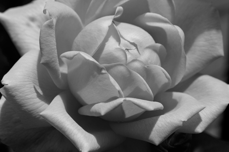 Rose flower photography art print in black & white