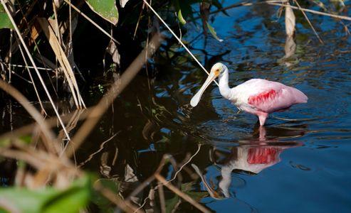 Spoonbill at Florida wetlands wildlife photography art print