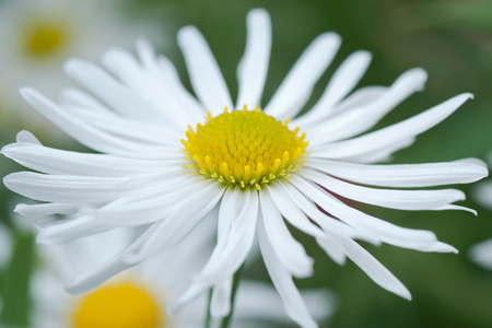 Daisy art print for home and office interior design