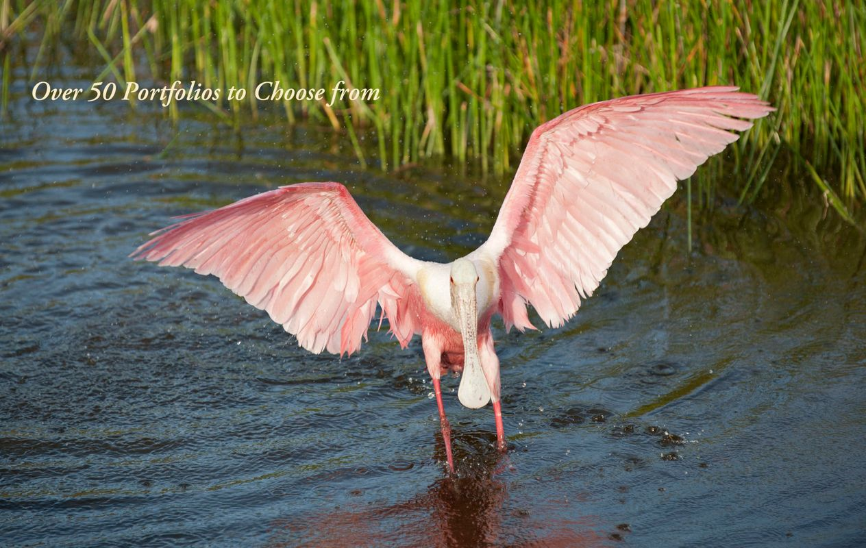 Roseate Spoonbill at the Florida Wetlands