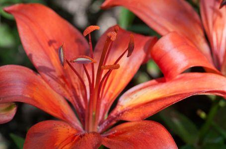 Lily flower macro  art print