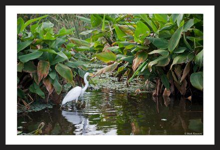 Great Egret at Florida Wetlands art print