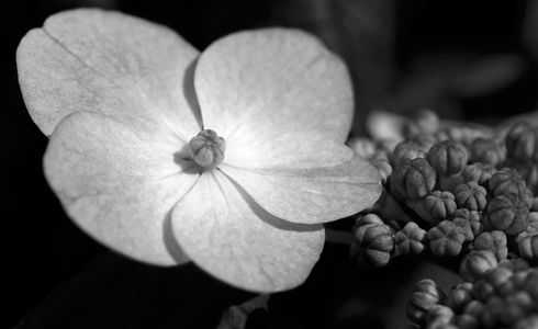 Hydrangea flower photography art prints in black & white