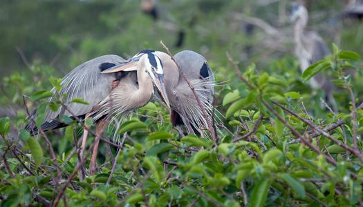 Great Blue Herons Pair Cuddling - wildife photography art print f