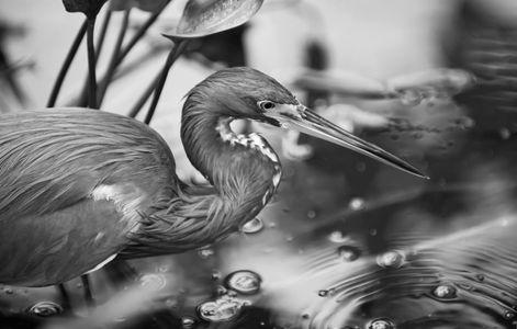 Tricolor Heron photo art print B&W
