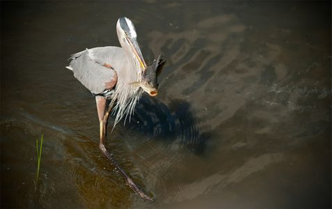 Great Blue Heron Spearfishing photo art print
