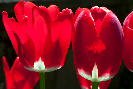 Red Tulips photography art print