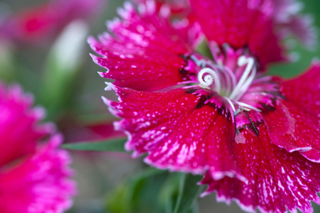 Dianthus flower art print for home and office