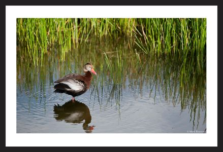 Whistling Duck at the Florida Wetlands art print