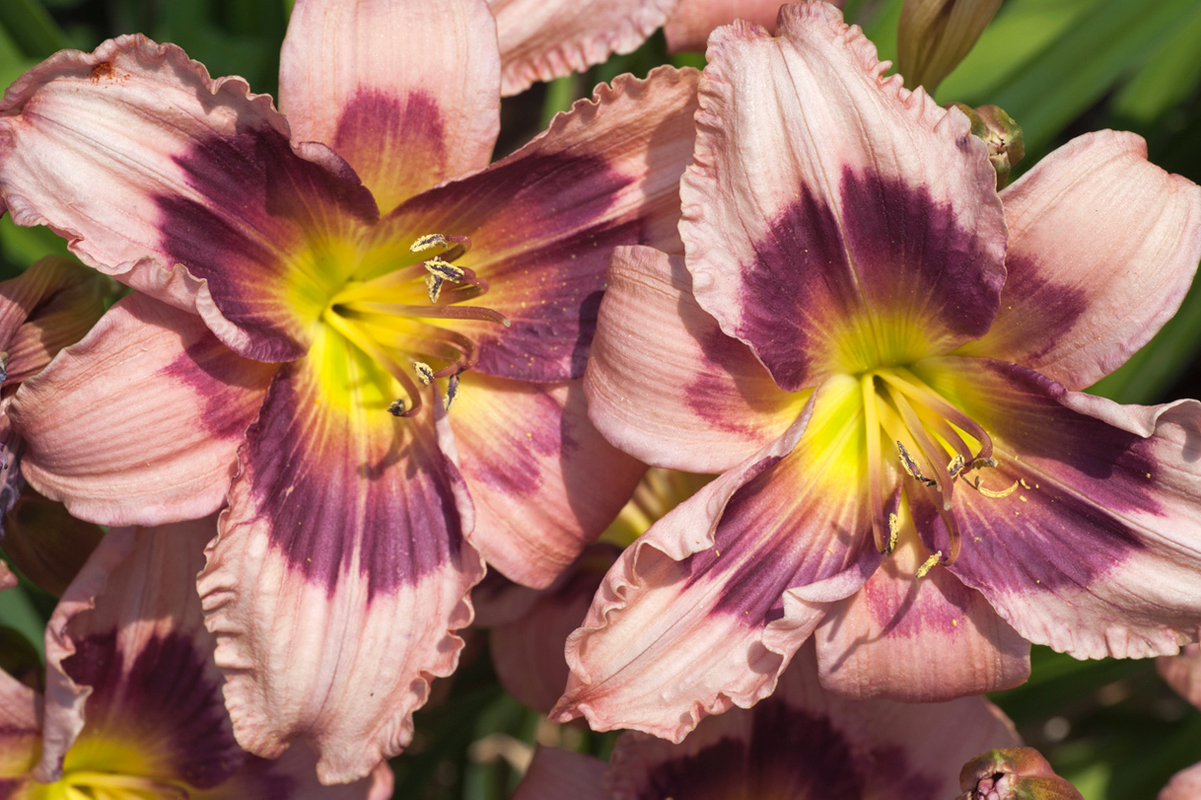 Pair of Lilies photography art print