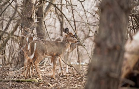 White Tail Deer group in woods photo art print