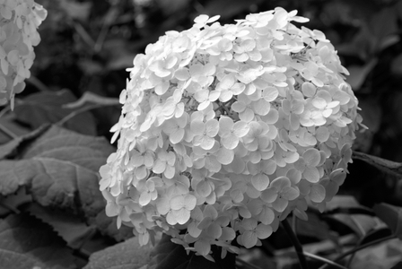 Hydrangea Flower art print in black and white