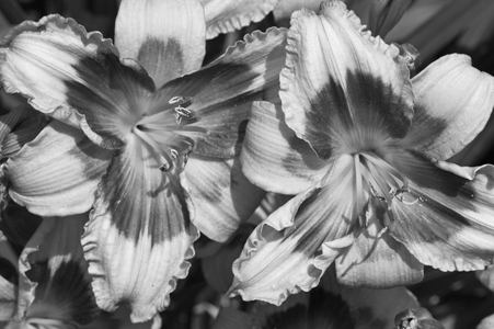 Lilies art print for home and office in black and white