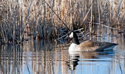 Canadian Goose photography art print