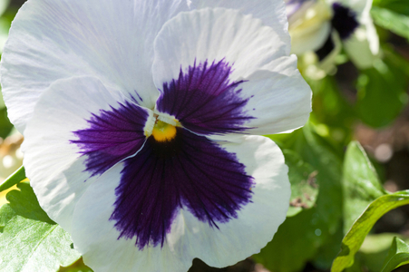 Pansy flower photography art print